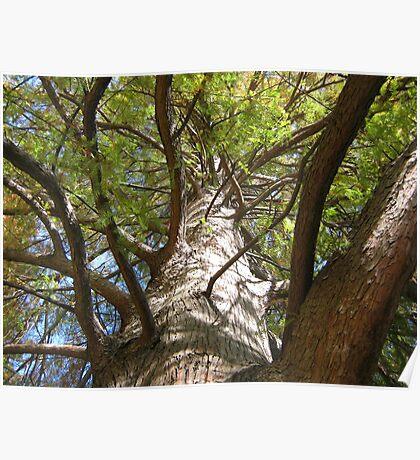 Bald Cypress 5 Poster