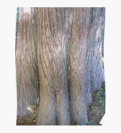 Bald Cypress 6 Poster