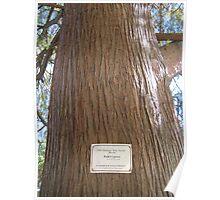 Bald Cypress 8 Poster