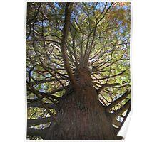 Bald Cypress 10 Poster