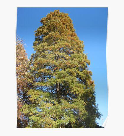 Bald Cypress 13 Poster