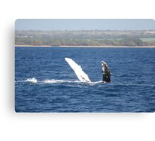 Humpback Whale Belly Up Canvas Print