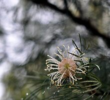 Raindrops on Grevillea by petejsmith