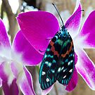 Butterfly on orchid, Thailand by John Spies