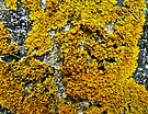 Orange Lichen - Xanthoria parietina by MotherNature