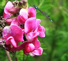 The Damselfly and the Sweet Pea by Alyce Taylor