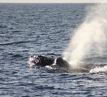 Humpbacks - Two Males Fighting by Katie Grove-Velasquez