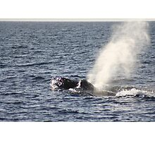 Humpbacks - Two Males Fighting Photographic Print