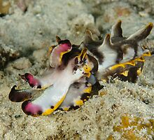 Flamboyant cuttlefish - Metasepia pfefferi by Andrew Trevor-Jones