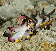 Flamboyant cuttlefish - Metasepia pfefferi by Andrew Trevor-Jones