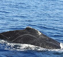 Male Humpback Scars by Katie Grove-Velasquez