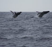 Humpback Twin Breach!  #1 of 4 by Katie Grove-Velasquez