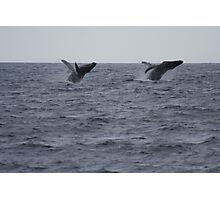 Humpback Twin Breach!  #1 of 4 Photographic Print