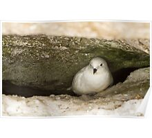 Snow Petrel in nest Poster