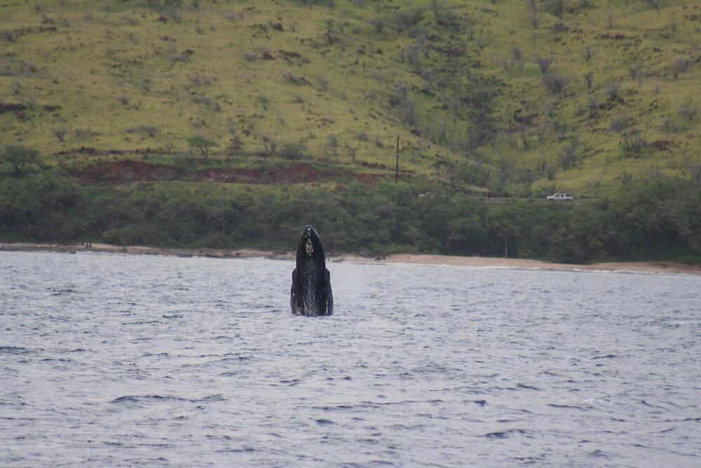 Humpback Juvenile Breach by Katie Grove-Velasquez