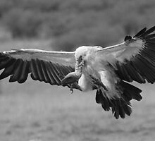 Vulture Landing by Jill Fisher