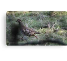 Red Legged Partridge. Canvas Print