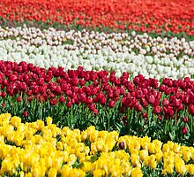 Tulip Fields Forever by Mel Sinclair