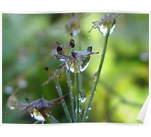 dew caught on flower seeds Poster