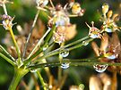 dew caught on flower seed heads by millymuso