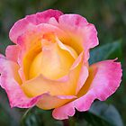 A rose of May by DebbyScott