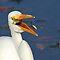 YOU CHOOSE - Ardeidae with Prey (Herons, Egrets & Bitterns)