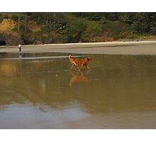 Young Red.....reflecting,...Florence, Oregon Photographic Print