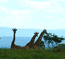 Horizen of Giraffes by Jessica  Page