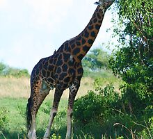 Reaching Giraffe by Jessica  Page