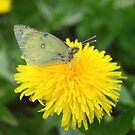 Dandelion Butterfly Moth by Nadine Staaf