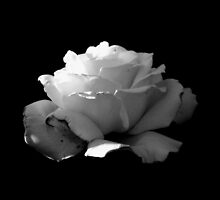 BLACK AND WHITE ROSE by joancaronil
