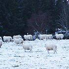 Sheep in the snow in Scotland. by McQphotography