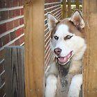 Alaskan Husky by DebbieCHayes