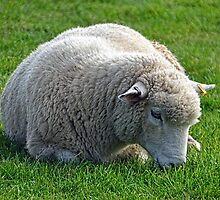 Don't Be  Blue Little  Ewe....  Dorset UK by lynn carter