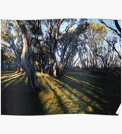 Snowgums at Ropers Hut Poster
