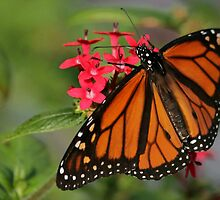 Magnificant Monarch Butterfly by Sabrina Ryan