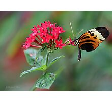 Tiny Hecale Butterfly Photographic Print