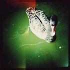 black swan swimming by Sally McColl