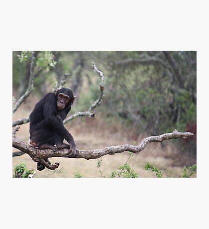 Chimp Eden I Photographic Print
