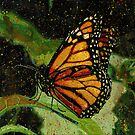 Monarch by Richard Bradish Jr