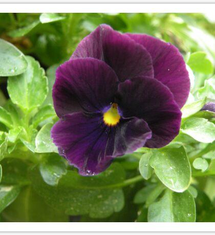 Purple Annual Sticker