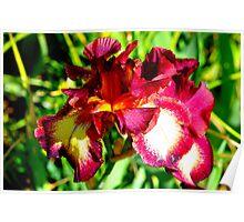 beautiful iris Poster