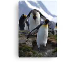 King Penguins, St Andrews Bay, South Georgia Canvas Print