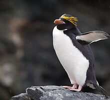Macaroni Penguin, Cooper Bay, South Georgia by Coreena Vieth