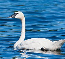 The Blues Of A Trumpeter Swan by DigitallyStill