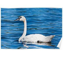 The Blues Of A Trumpeter Swan Poster