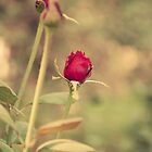 The Rose by Katayoonphotos