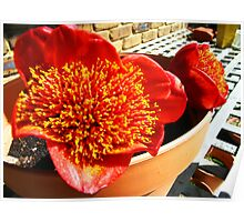 Paintbrush Lilies in pot Poster