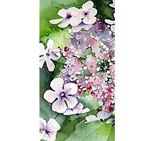 Lace Cap Hydrangea Photographic Print