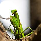 Praying Mantis  by brian hammonds